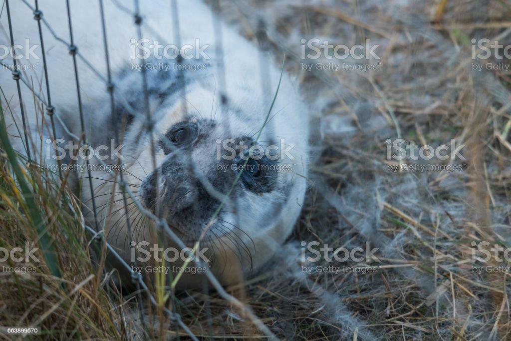 Atlantic Grey Seal Pup (Atlantic Grey Seal (Halichoerus grypus) stock photo