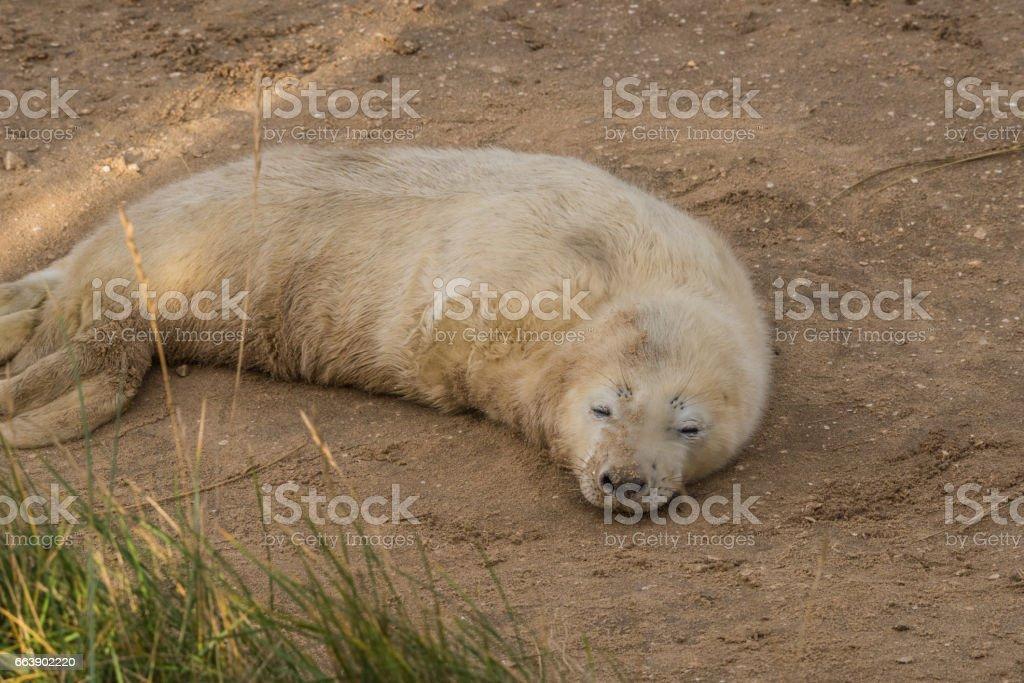 Atlantic Grey Seal Pup stock photo