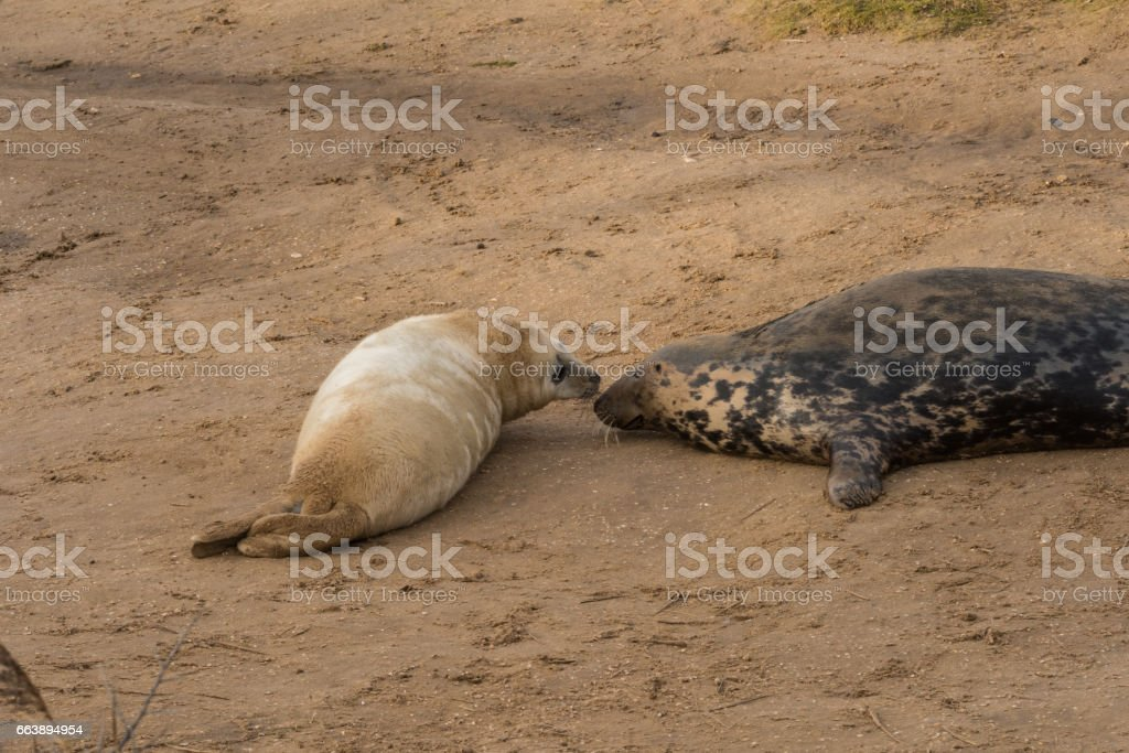 Atlantic Grey Seals : Mother with Pup stock photo