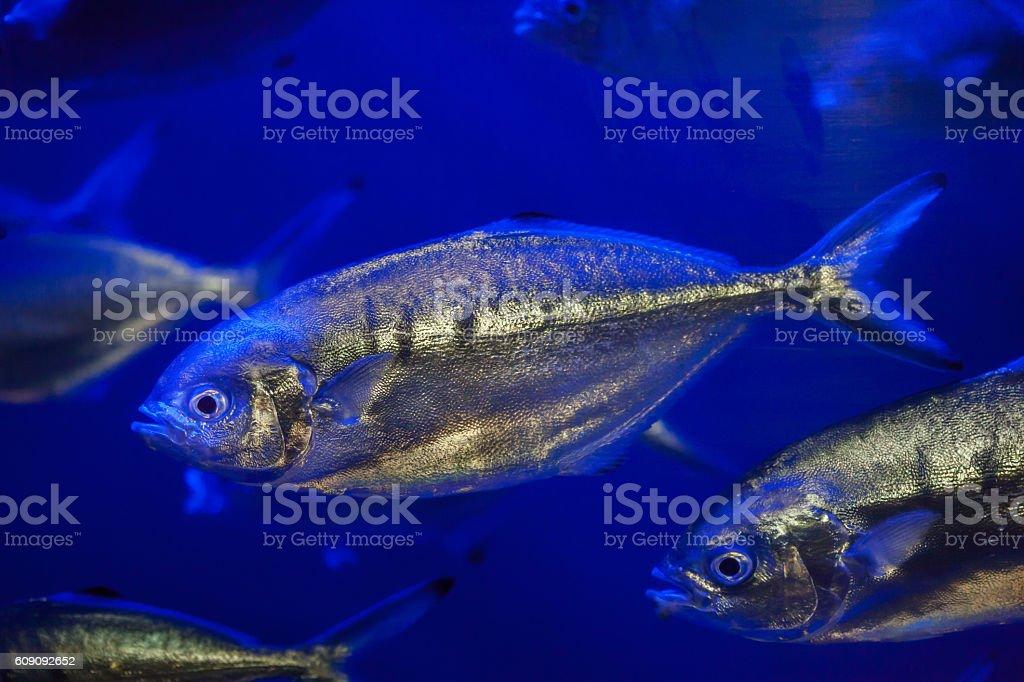 Atlantic horse mackerel (Trachurus trachurus). stock photo
