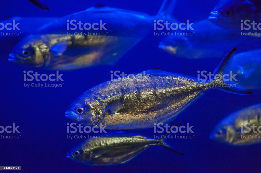 Atlantic horse mackerel (Trachurus trachurus). stock photo