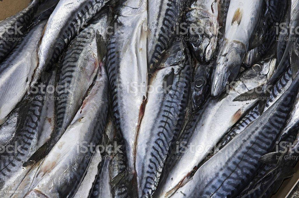 Atlantic Mackerel royalty-free stock photo