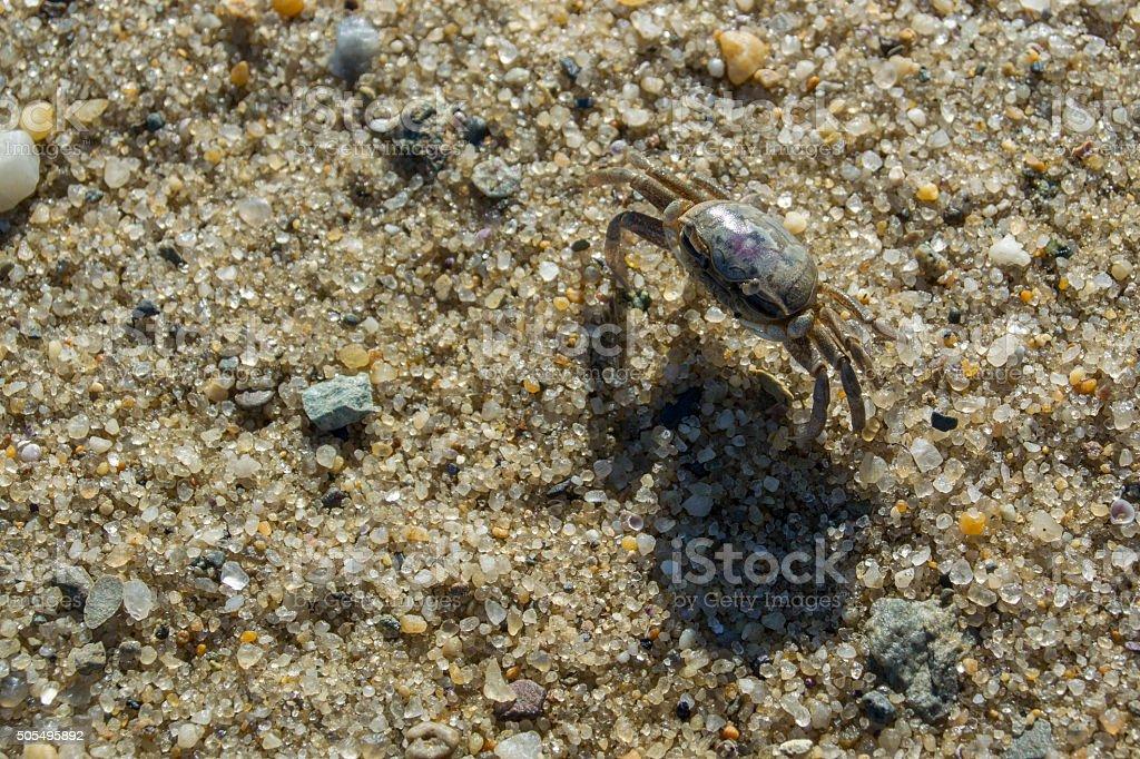 Atlantic Mud Fiddler Crab on Sand stock photo