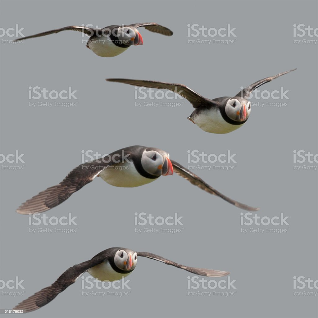 Atlantic or Common Puffin flying in midair Mykines, Faroe Islands stock photo