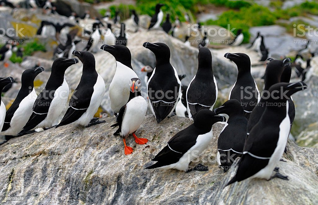 Atlantic Puffin and a group of Razorbills stock photo