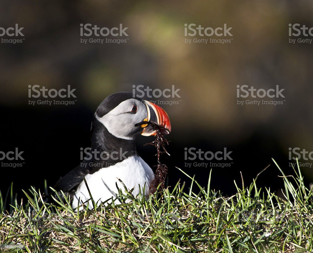 Atlantic Puffin royalty-free stock photo