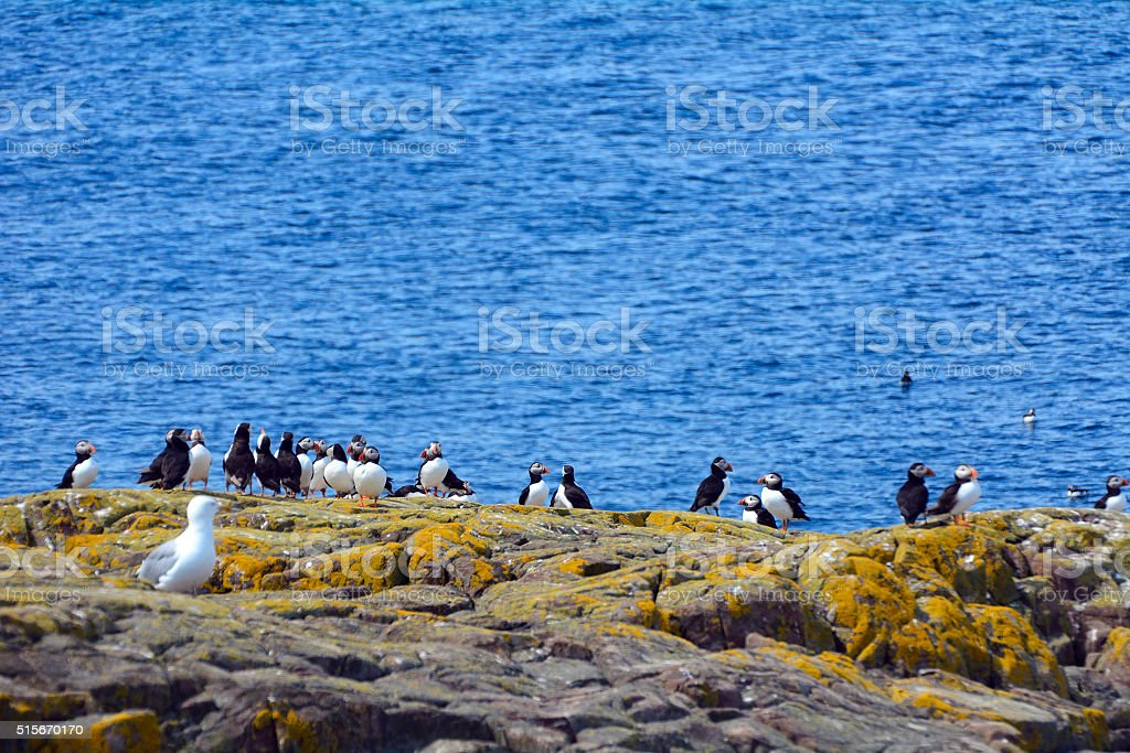 Atlantic puffins stock photo