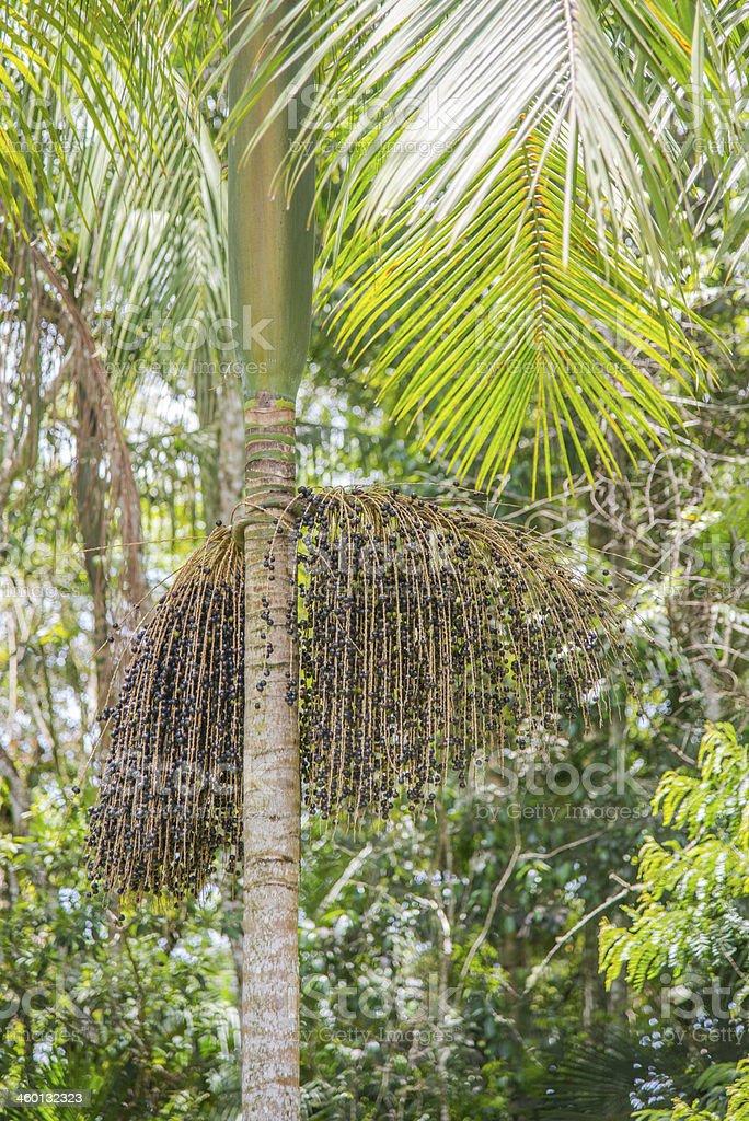 Atlantic rainforest palm stock photo
