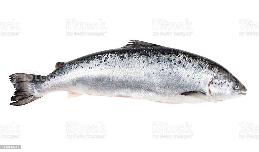 Atlantic salmon isolated  on white with clipping path stock photo