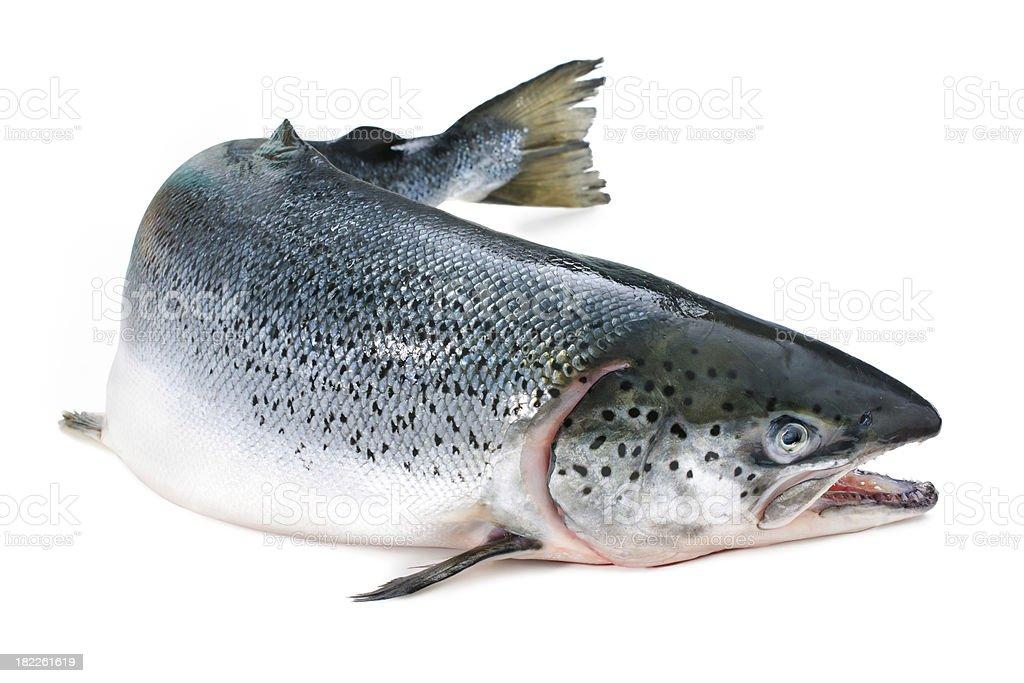 Atlantic salmon royalty-free stock photo