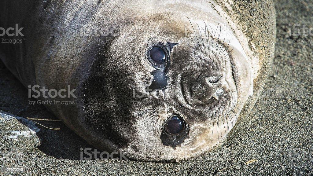 Atlantic seal looks with full eyes. royalty-free stock photo