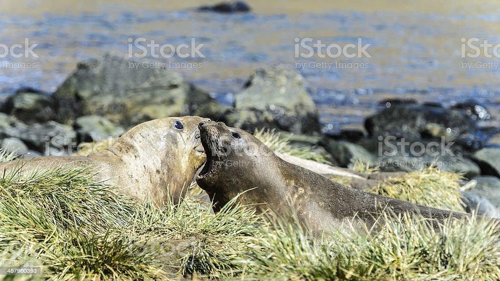 Atlantic seals swank. royalty-free stock photo