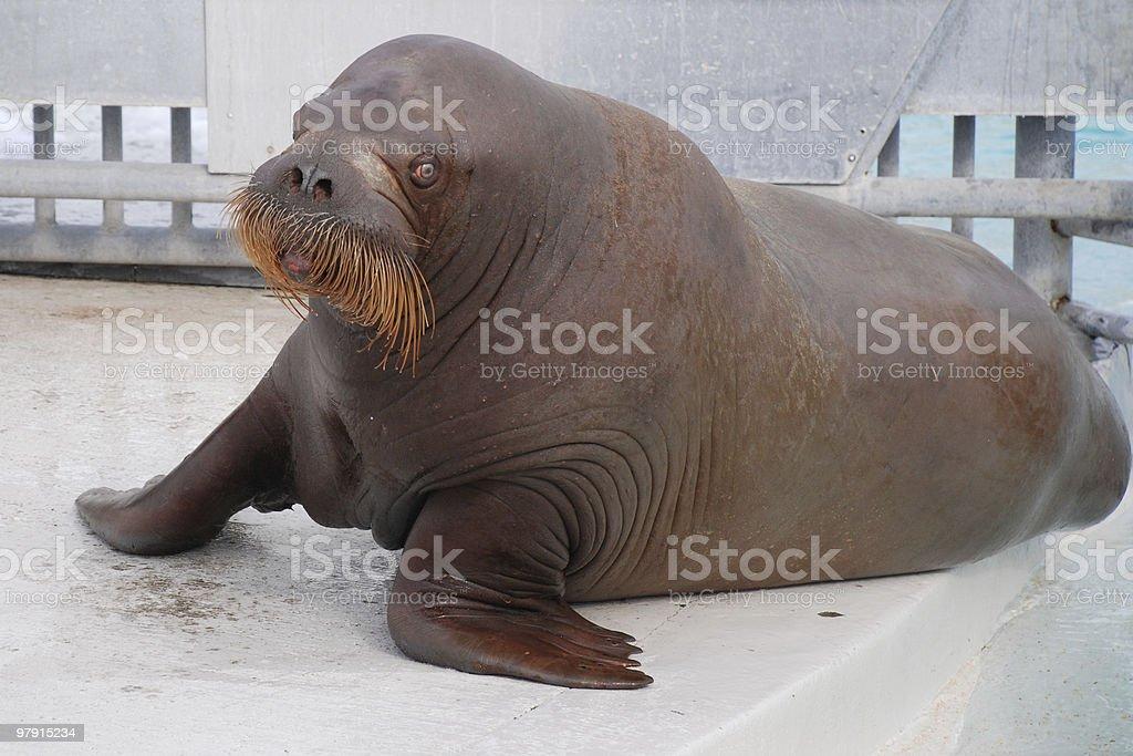 Atlantic walrus royalty-free stock photo
