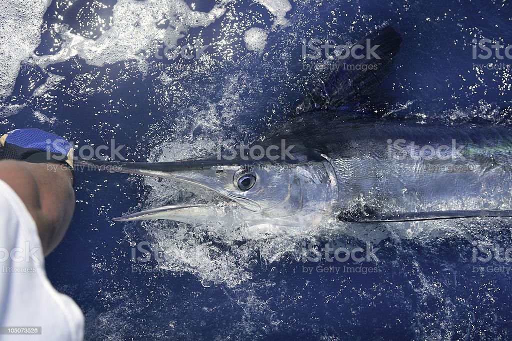Atlantic white marlin big game sport fishing stock photo