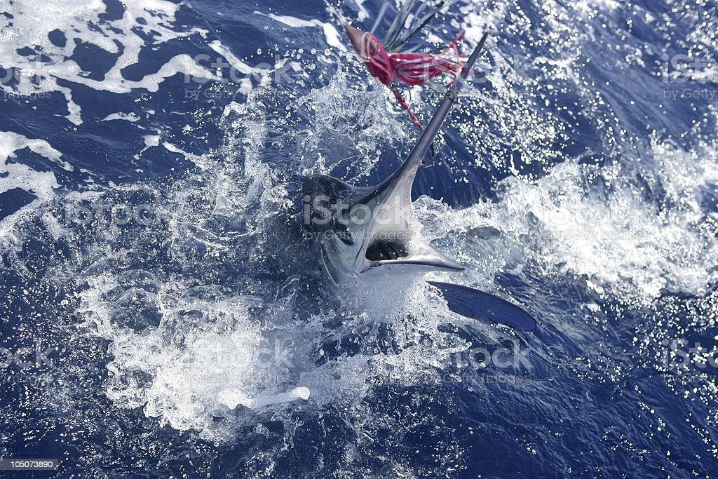 Atlantic white marlin cresting out of the sea toward a lure stock photo
