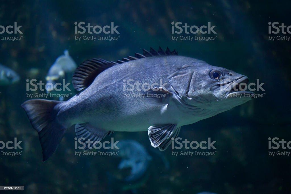Atlantic wreckfish (Polyprion americanus). stock photo