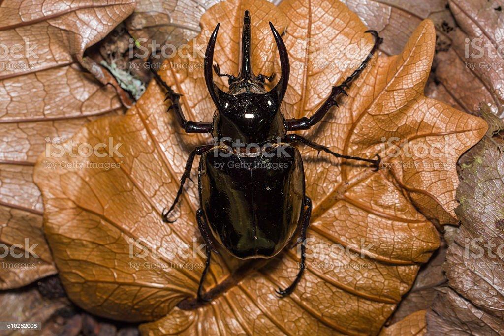 Atlas beetle on dried leaf stock photo
