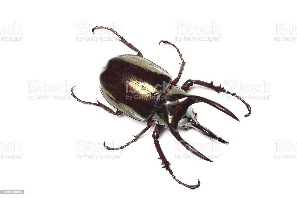 Atlas beetle stock photo