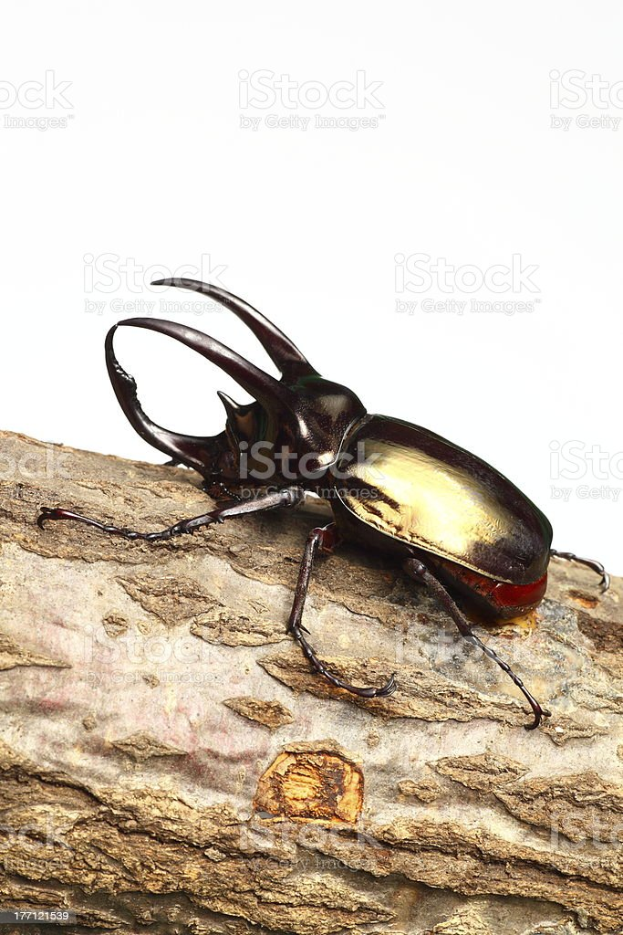 Atlas beetle stock photo
