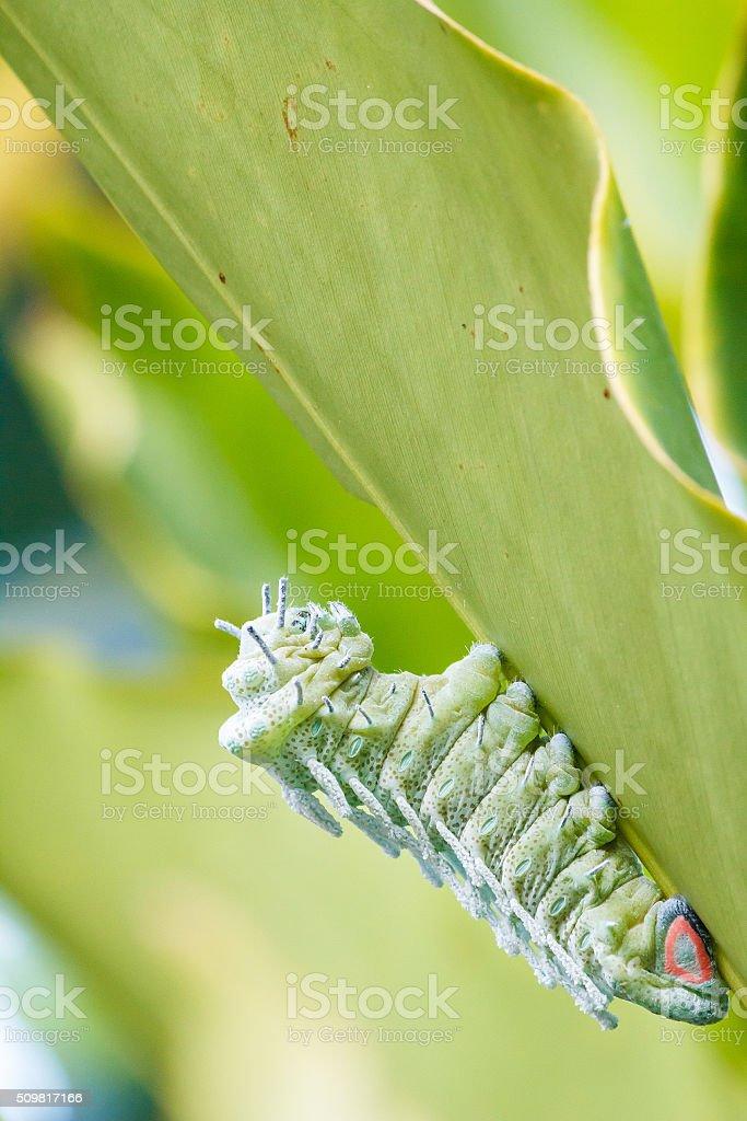 Atlas Moth (Attacus atlas) Caterpillar. stock photo