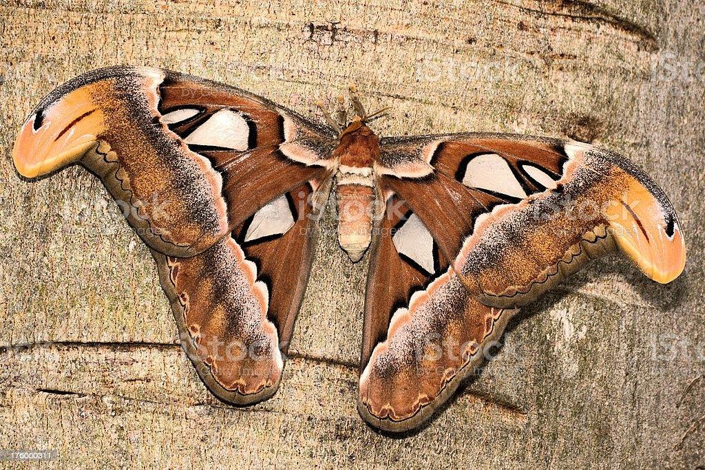 'Atlas Moth in Pulau Ubin, Singapore' stock photo
