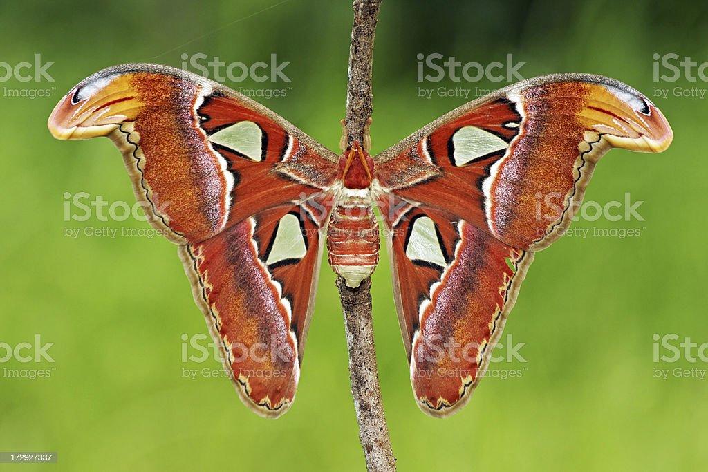 Atlas Moth royalty-free stock photo