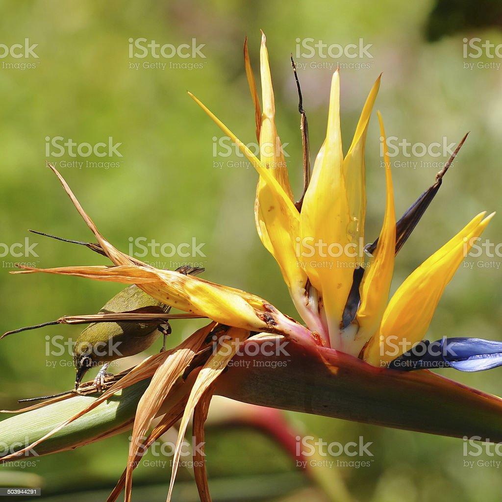atrelizia and bird stock photo