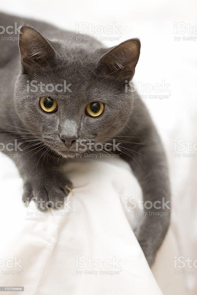 Attack Cat stock photo