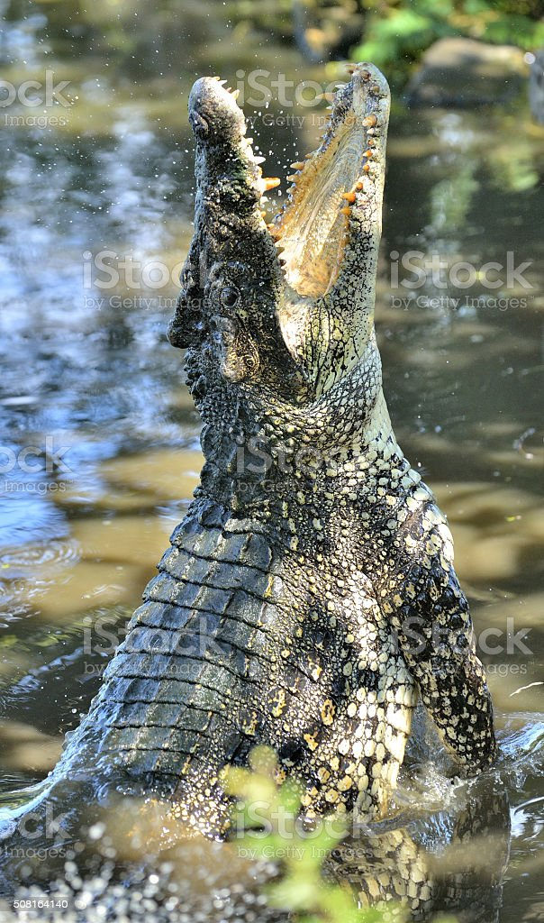 Attack crocodile. stock photo