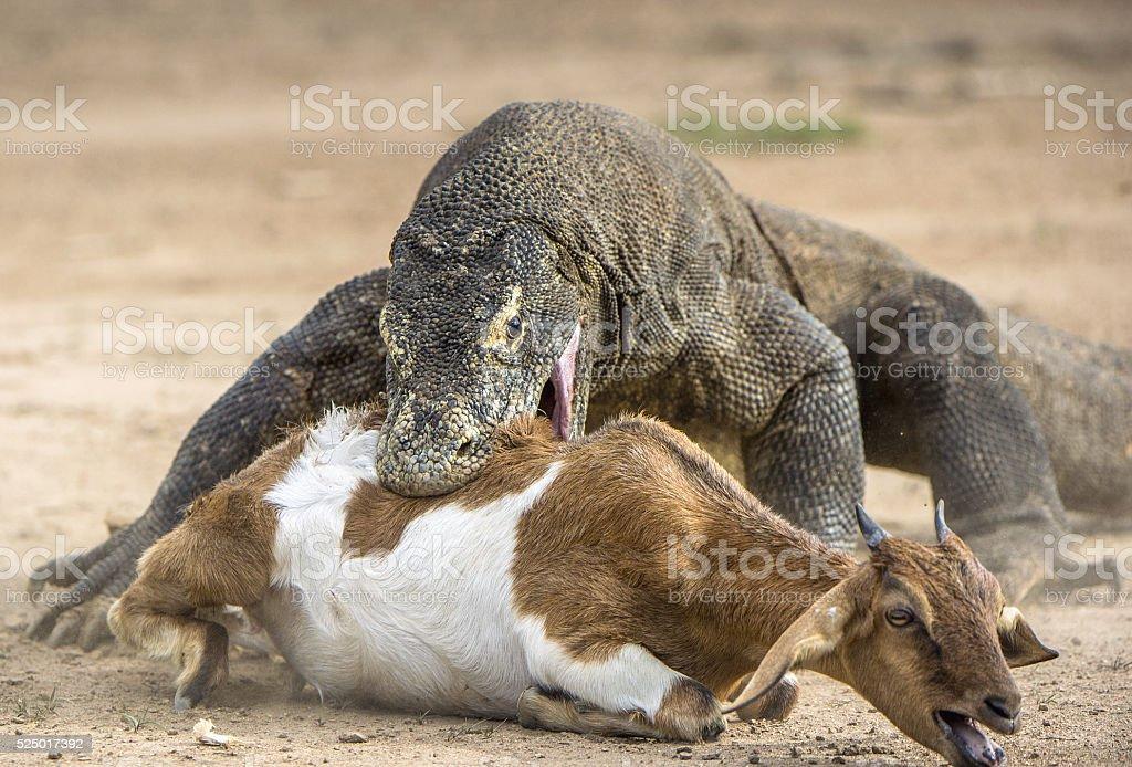 Attack of a Komodo dragon. stock photo