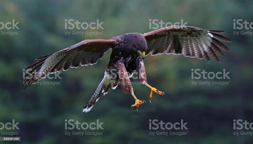 Attacking Harris Hawk stock photo