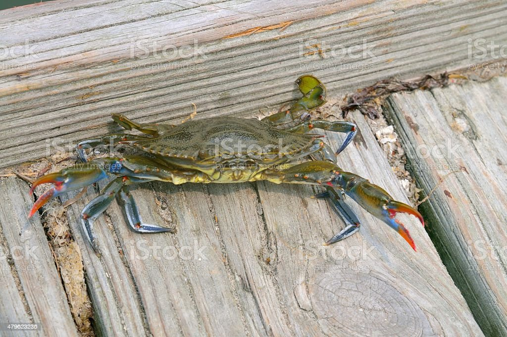 Attacking Maryland, Atlantic, or Chesapeake Blue Crab stock photo