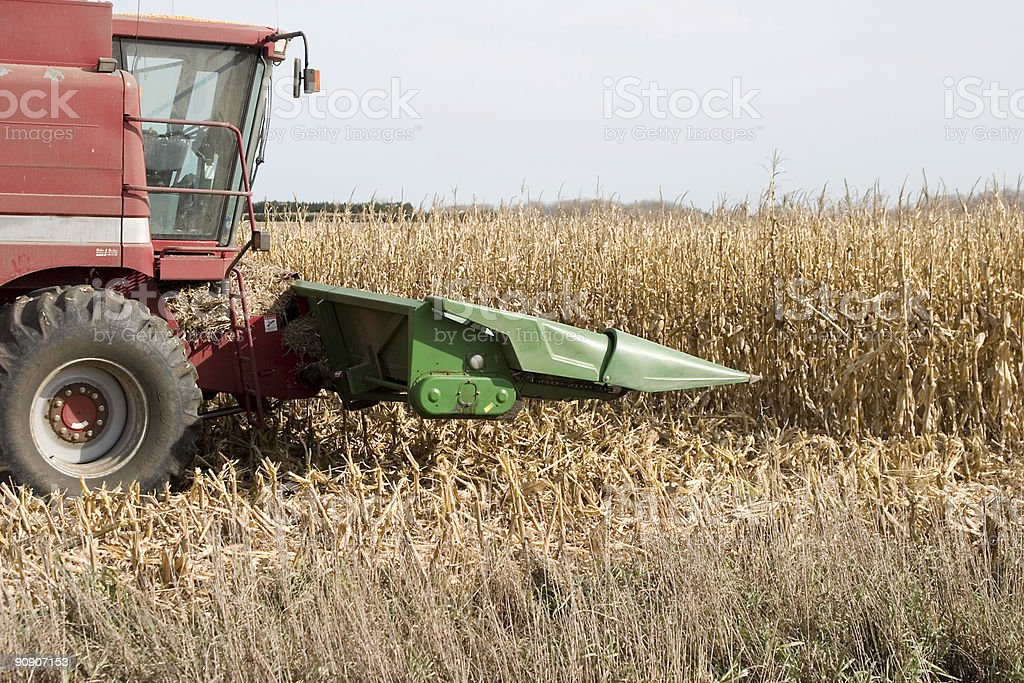 attacking the corn royalty-free stock photo