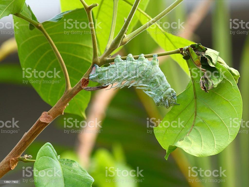 Attacus atlas moth Caterpillar stock photo