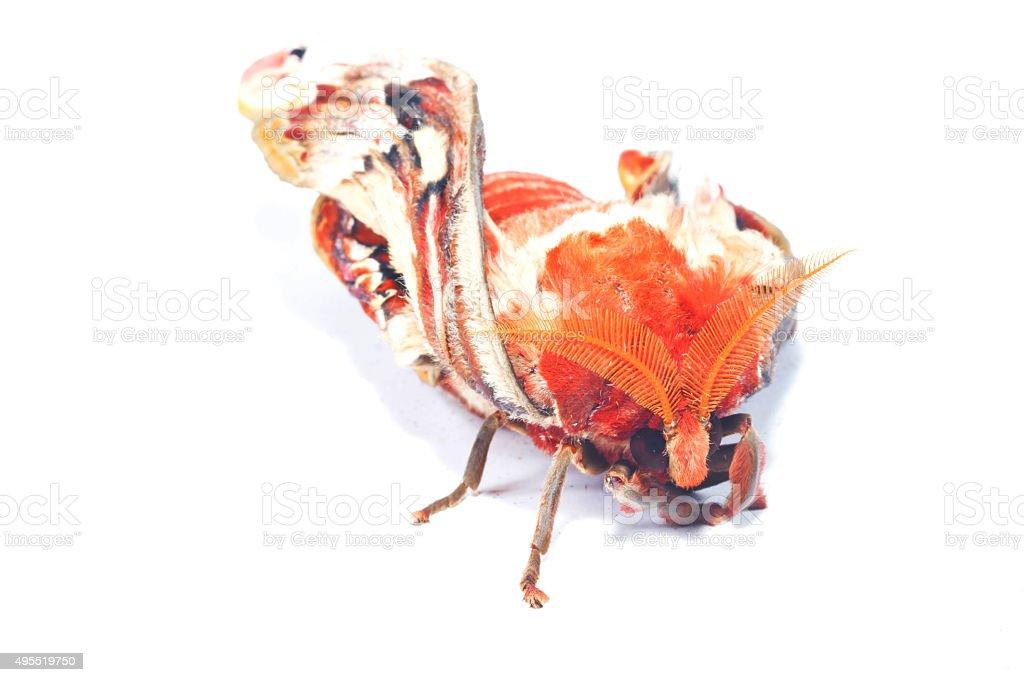 attacus atlas moth stock photo