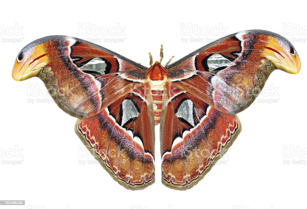 Attacus atlas royalty-free stock photo