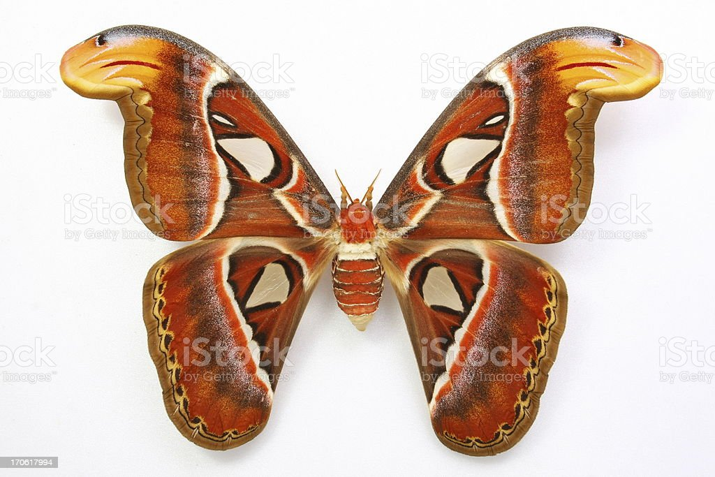 Attacus atlas....Beautiful butterfly royalty-free stock photo