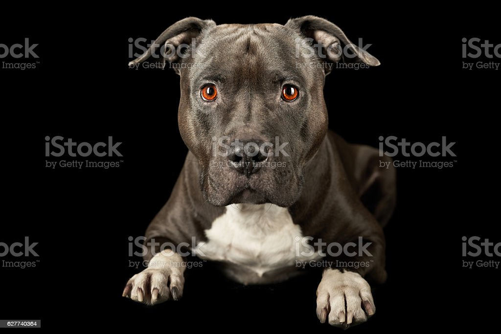 attentive american stafford down black stock photo