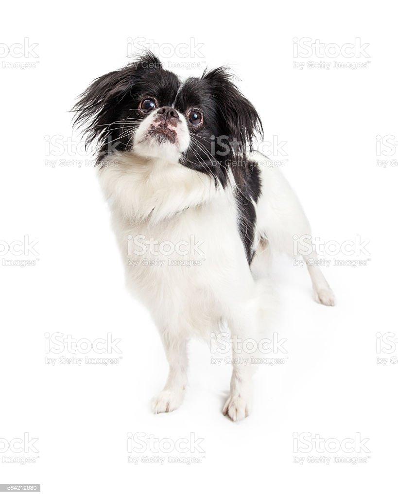 Attentive Black and White Pekingese Crossbreed Dog stock photo