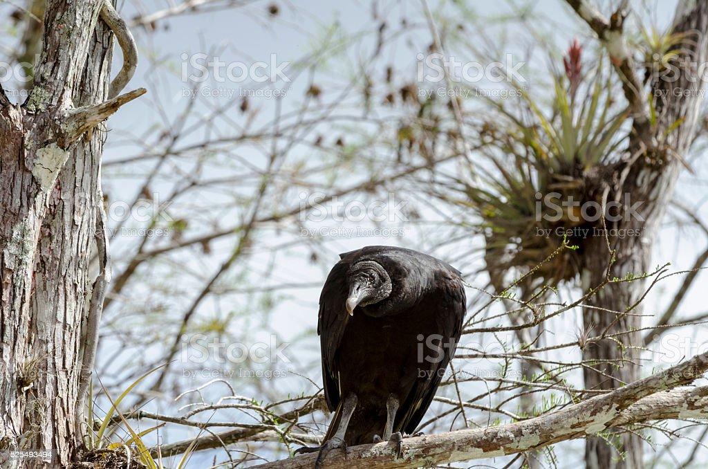 Attentive Black Vulture stock photo