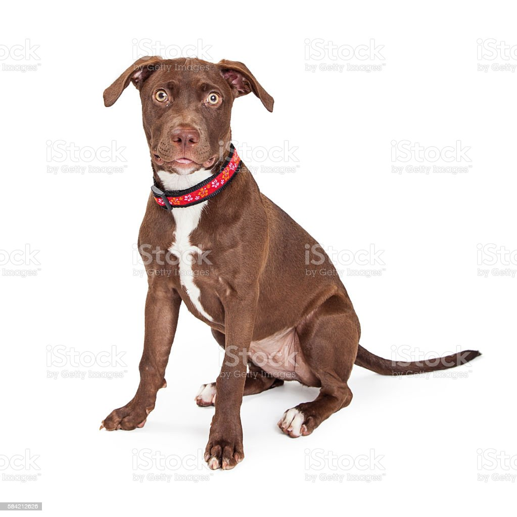 Attentive Brown Mixed Breed Dog Over White stock photo