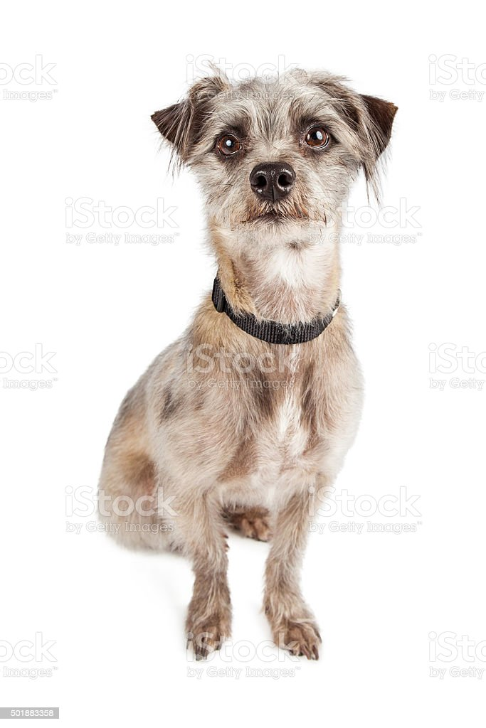 Attentive Cute Terier Crossbreed Dog Sitting stock photo