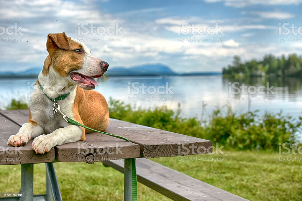 Attentive Dog On Picnic Table stock photo