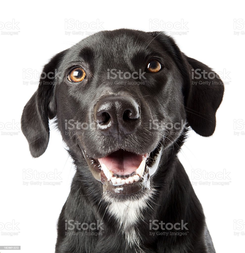Attentive happy black dog looking intently at treat off camera stock photo