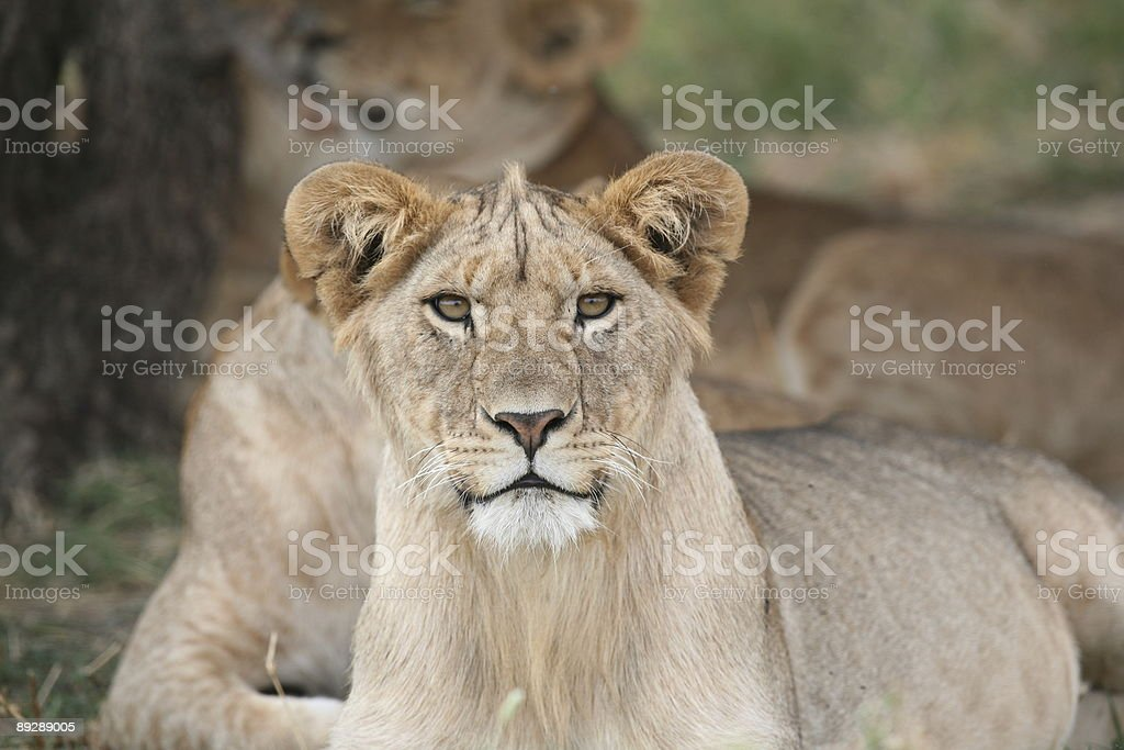Attentive Lion royalty-free stock photo
