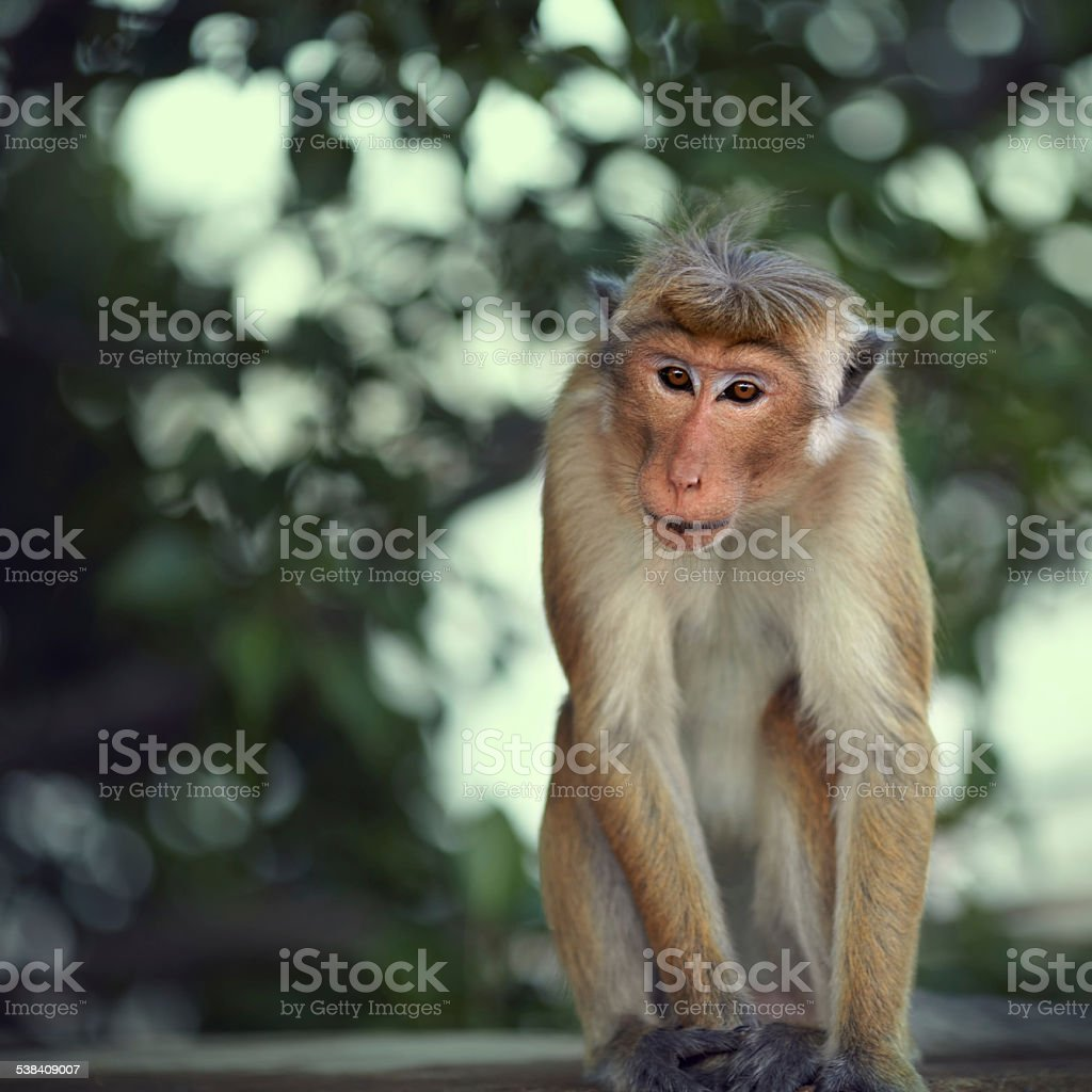Attentive macaque stock photo