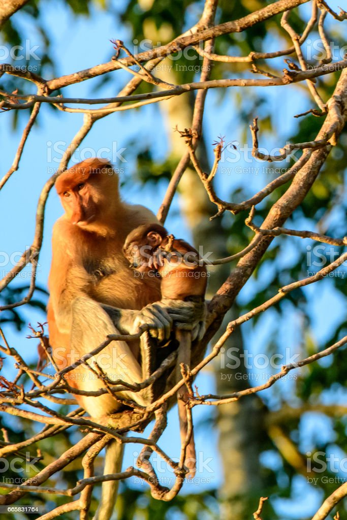 Attentive mother proboscis monkey with baby stock photo