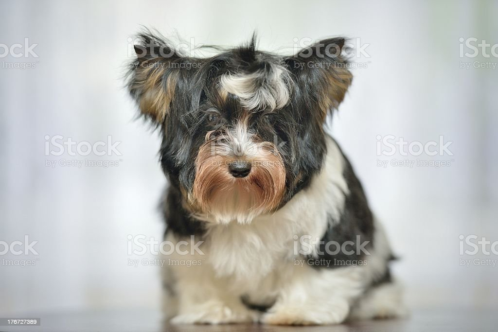 Attentive Yorkshire Terrier royalty-free stock photo