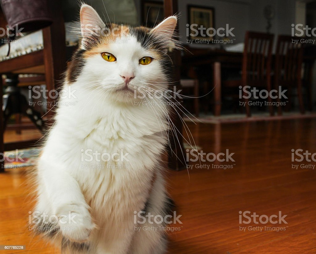 Attentive young cat pawing up at home stock photo