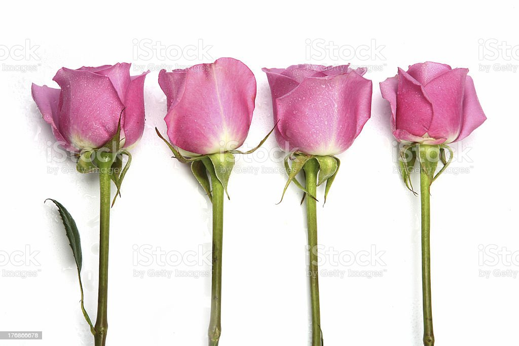 Attractive Four Pink Roses in a Row on white royalty-free stock photo